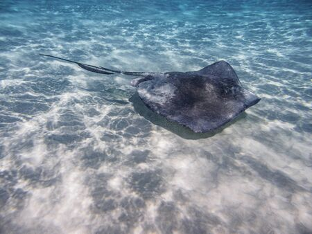 Southern stingray (Hypanus americanus), Stingray City, Grand Cayman, Cayman Islands