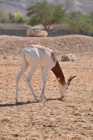 Gazelle, Dama (Gazella d.) Native to North Africa and here in the Middle East
