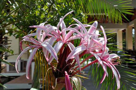 Spider Lily  (Crinum amabile) Blooming colourfully here in a hotel garden in Siem Reap, Cambodia, a large flower about 30 cm across the petals Фото со стока - 101400210