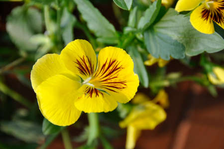 Pansy (Viola tricolor). Blooming colourfully here in the city of Cheng Du, Southern China