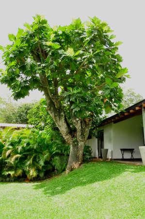 Breadfruit tree (Autocarpus altilis). Growing here in a hotel garden in Sri Lanka