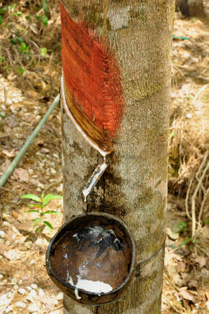 Collecting latex from rubber trees. Growing here on a large plantation here in an agricultural area of South Western Thailand 版權商用圖片