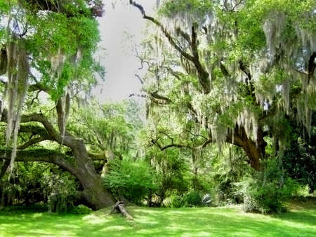 Live Oak trees with Spanish Moss.  A common sight in the Southern States, magnificent old oak trees here in South Carolina Stock Photo