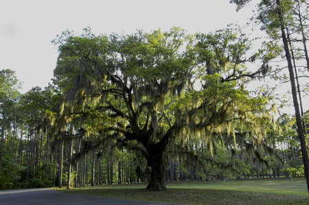 Live Oak trees with Spanish Moss.  A common sight in the Southern States, magnificent old oak trees here in South Carolina 写真素材