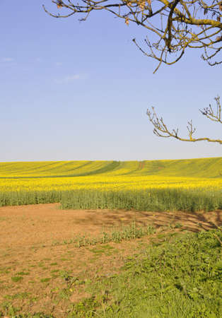 Rape fields. Farm fields with brilliant yellow crops nearly ready for harvesting here in Southern England Stock fotó