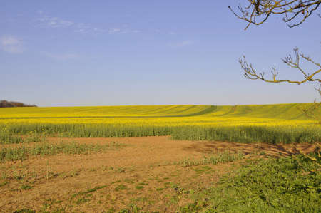 Rape fields. Farm fields with brilliant yellow crops nearly ready for harvesting here in Southern England 스톡 콘텐츠
