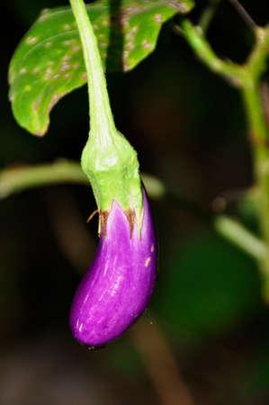 Aubergine (Solanum melongena). AKA Eggplant, growing colourfully here in a hotel garden in Sri Lanka