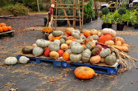 Pumpkins. For sale here, ahead of the upcoming Halloween holiday, at a farm in New Jersey, USA Stock Photo