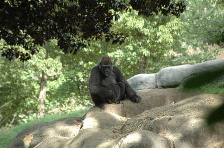 Gorilla (Gor. g.). Africa's largest primate inhabiting forests and jungles around the continent, highly endangered