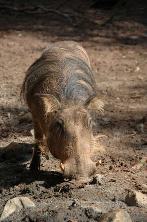 Warthog (Phacochoerus africanus). The ugliest animal on the plains, lives in family groups in sub-Saharan Africa