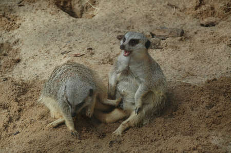 Meerkats (Suricata suricatta). A small burrowing social mammal living in groups in the arid areas of Southern Africa Stock Photo