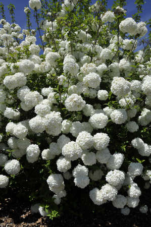 Snowball bush (Viburnum opulus). Blooming colourfully here in a residential country garden in the Eastern United States Reklamní fotografie