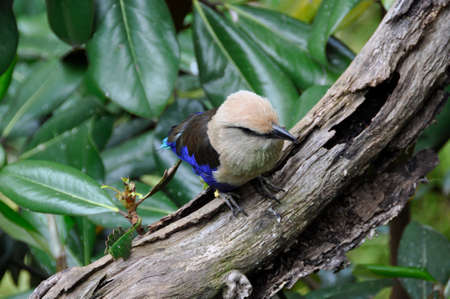 Blue-bellied Roller (Coracias cyanogaster). A small colourful bird found all over the plains and forests of sub-Saharan Africa