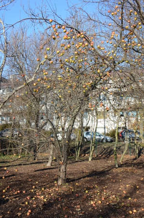 Winter apples (Malus domestica). Growing here in the dead of winter in a suburb of Vienna, Austria, these apples are ready to eat