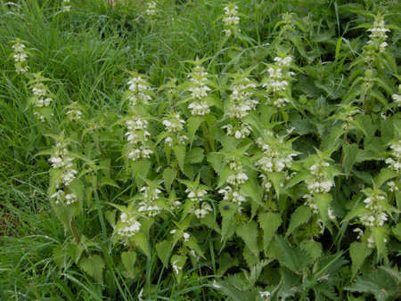 White Dead-nettle (Lamium album). Colourful wild-flowers can be found in all rural areas of Gt. Britain, during spring and summer