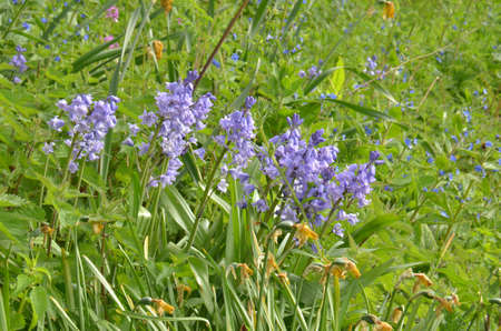 Bluebells (Endymion non-scriptus). Blooming colourfully to carpet forest floors all over Great Britain during spring Stock fotó