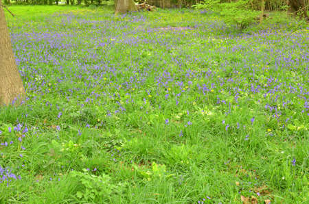 Bluebells (Endymion non-scriptus). Blooming colourfully to carpet forest floors all over Great Britain during spring Zdjęcie Seryjne