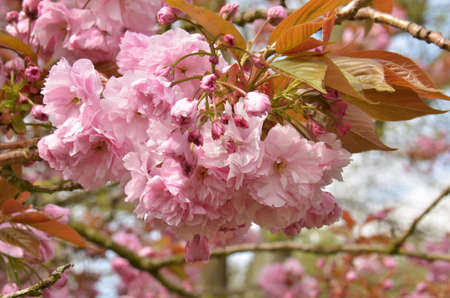Cherry Blossom (Prunus serrulata).  Blooming colourfully here in a country garden in Southern England, taken in springtime