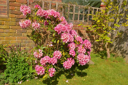 Rhododendron (Fam Ericaceae). Blooming colourfully here in a country garden in Southern England, taken in springtime