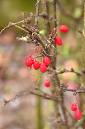 Red berries. A splash of bright colour amid this grey wintry day here in the German countryside Stock fotó