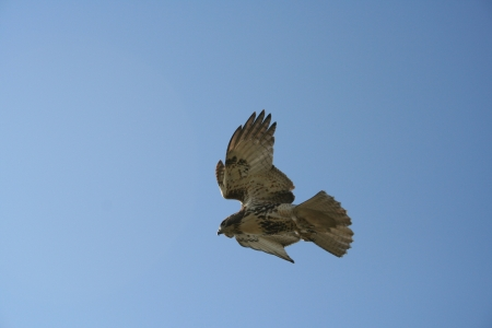 Hawk Flying Against Clear Blue Sky Stock Photo - 20005638