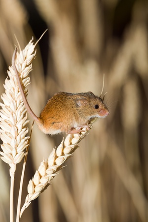 Harvest Mouse in Wheat Field photo