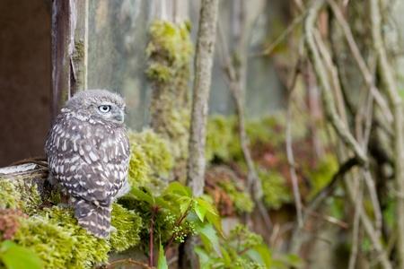 Little Owl in Natural Habitat