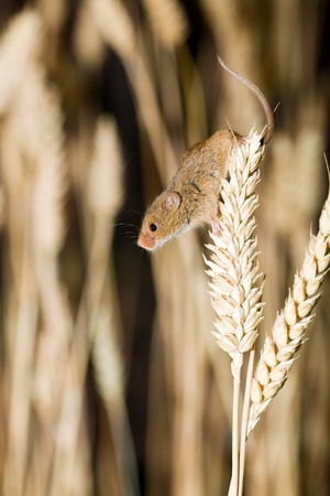 Harvest Mouse in Wheat Field