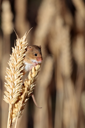 mus: A harvest mouse clambering through a wheat field before harvest time