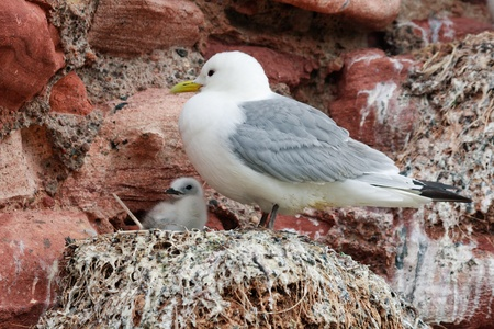 Kittiwake adult looking after its young, off the Scottish coast