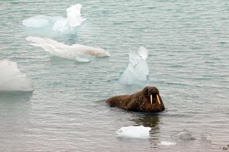 Walrus emerging from the sea in Spitsbergen
