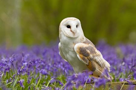 Barn Owl in a field of bluebells photo