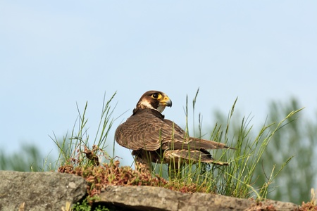 Peregrine Falcon alert looking for prey Stock Photo