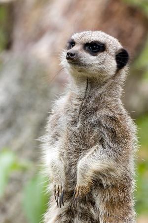 Meerkat standing alert for danger Stock Photo