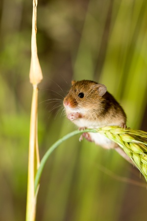 A harvest mouse clambering through a wheat field before harvest time photo