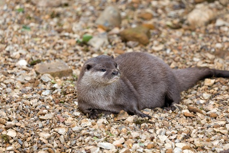Otter relaxing on a stone beach Stock Photo