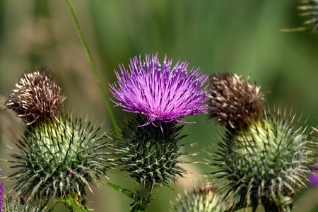 Closeup of a flowering thistle between two dead ones Stock Photo