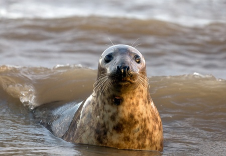 Curious Grey Seal playing in the surf