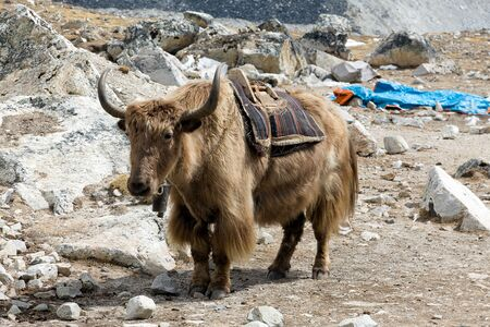 Himalayan Yak, beast of burden