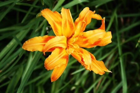 day lily: Yellow Day Lily Blossom Stock Photo