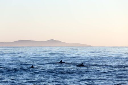 Three dolphins surface for air on a calm morning off the east coast of Australia.
