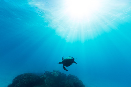 A sea turtle is illuminated by beautiful ethereal sun light as it swims through pristine blue water on the Great Barrier Reef. Imagens