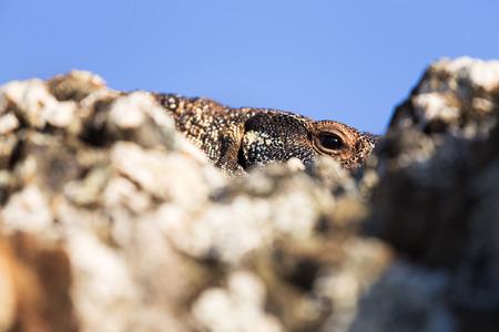 lizard in field: An Australian goanna lizard pears over a rock in this close up image.