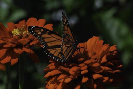 Monarch butterfly on orange flower Stock Photo