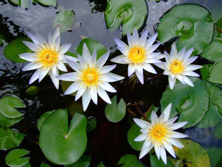 White Lotuses, Thailand. Stock Photo - 6479980