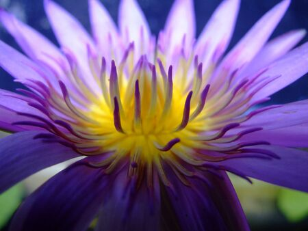 Purple lotus, Thailand. photo