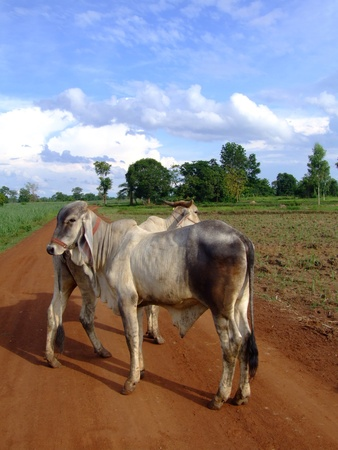 Cows on a dirt road, Issan, Thailand.  Stock Photo - 8612700