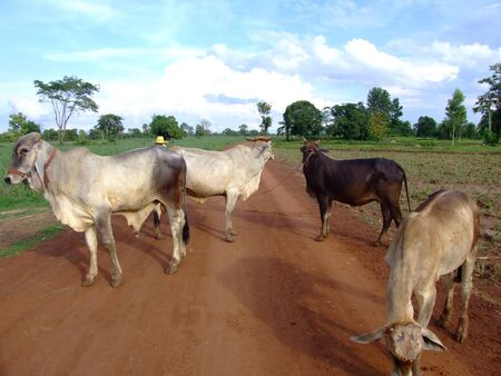 Cows on a dirt road, Issan, Thailand.  Stock Photo - 8612701