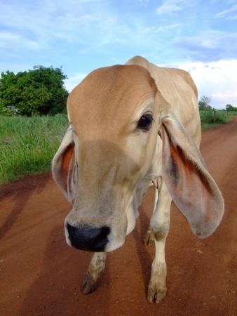 Thai cow, Issan, Thailand.  photo