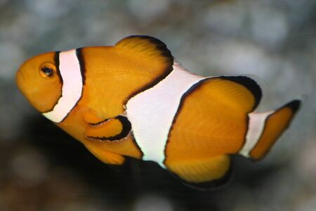 tail: Goldfish at Siam ocean world, Thailand. Stock Photo